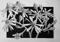 Coneflowers in Black and White