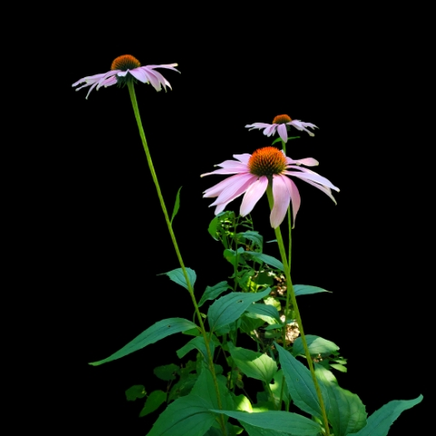 Cone Flowers 2